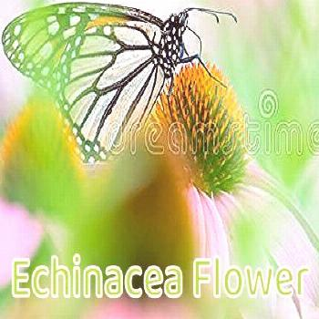 Echinacea Flower Monarch Butterfly In A Sea Of Purple / Pink Echinacea Flowers In The Minnesota V..