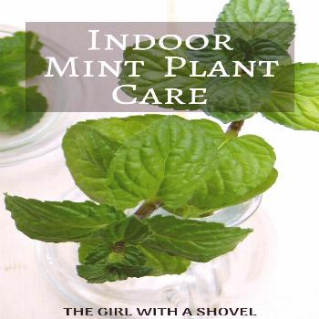 Find out how to keep your mint plant alive and thriving indoors! This post on indoor mint plant car