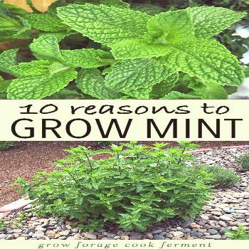 Mint is an herb with so many uses! Learn about why you should have mint in your garden. Grow mint w