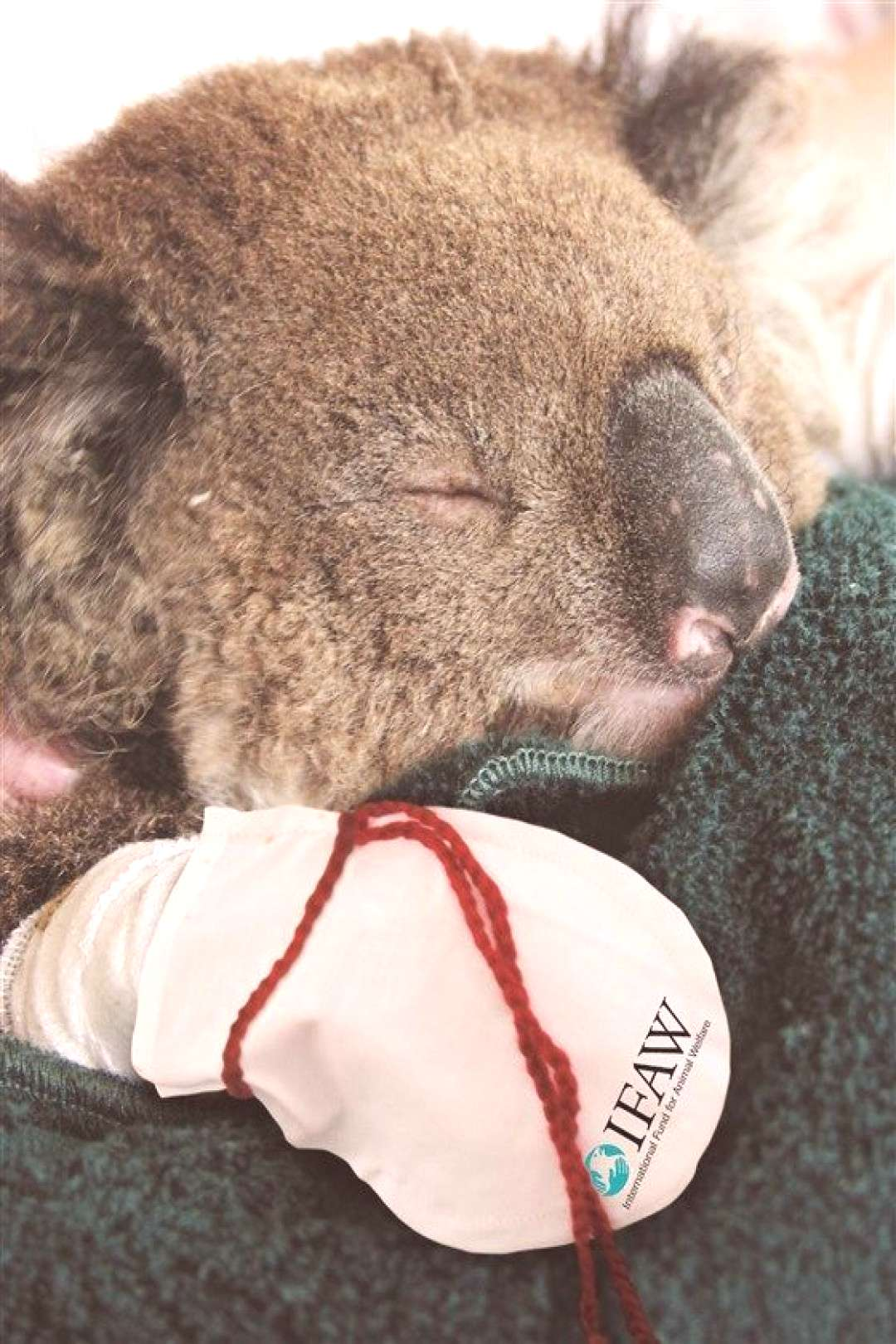 Campaign to knit mittens for injured koalas successful, adorable - -